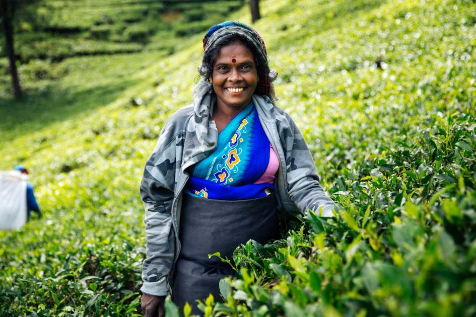 Tea picker at work. Photo: Shutterstock