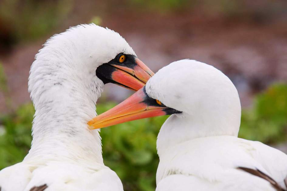 Nazca Boobies (Sula granti) preening each other at Galapagos National Park. Photo: Shutterstock