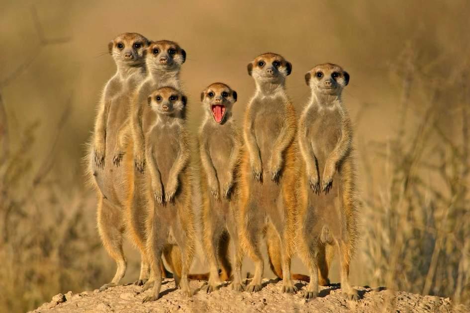 A meerkat family, Kalahari, South Africa