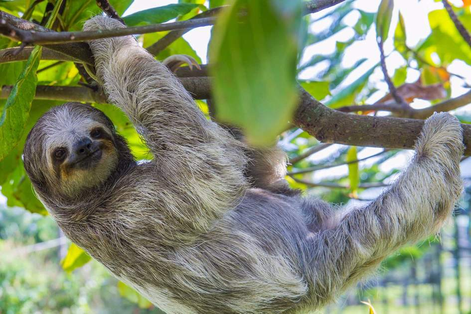 Sloth climbing a tree in Costa Rica. Photo: Shutterstock