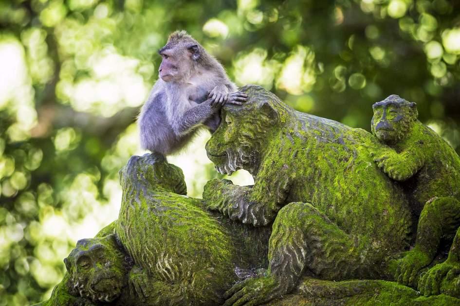 Resident at Sacred Monkey Forest, Ubud, Bali