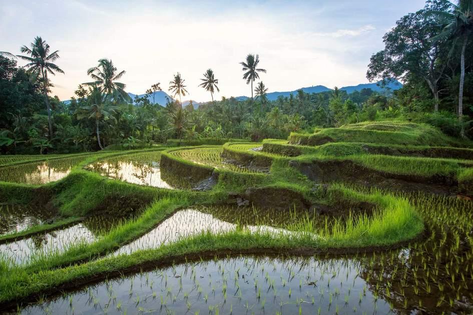 Bali Rice Terraces. Rice fields of Jatiluwih