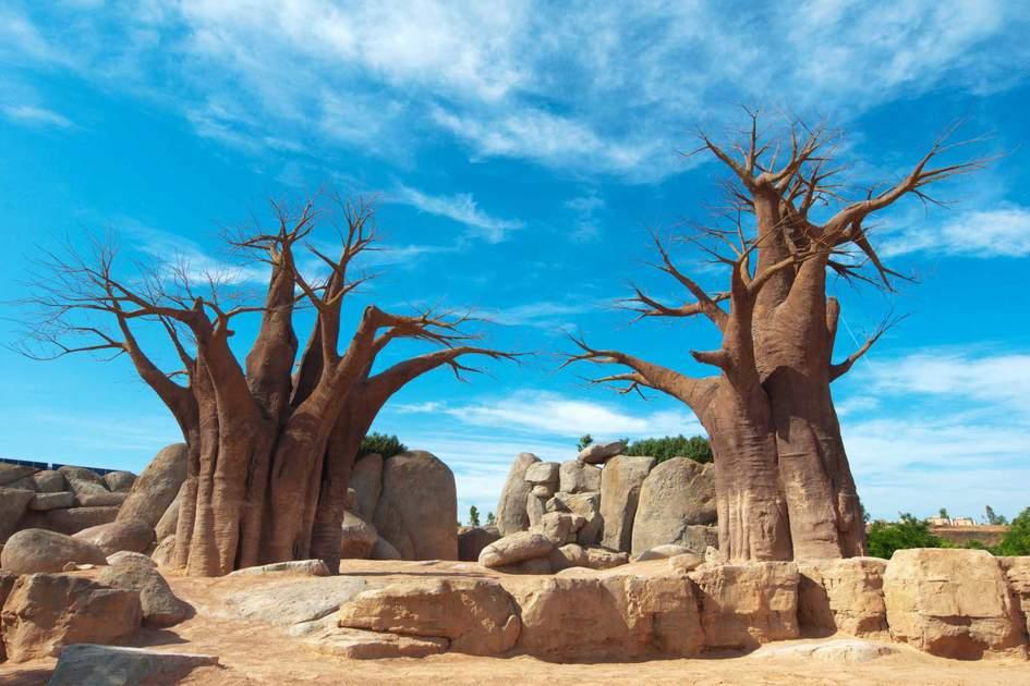 Madagascar Baobab Tree