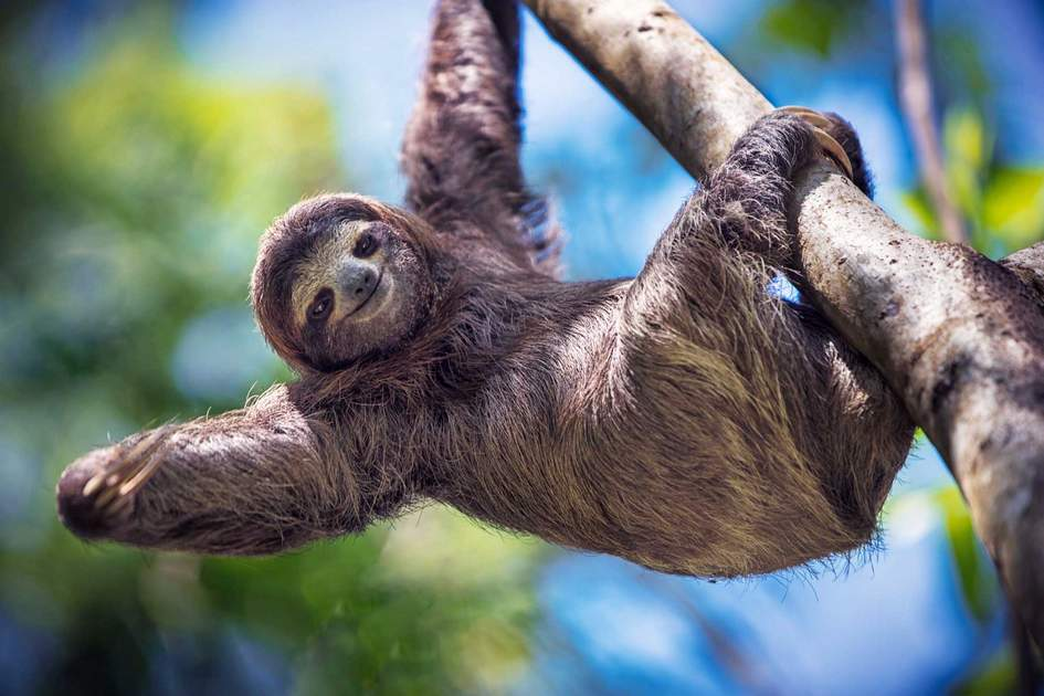 Costa Rican  sloth. Photo: Shutterstock