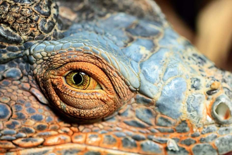 Closeup of Galapagos Island iguana with focus on eye
