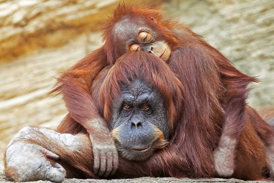 A young orangutan is sleeping on its mother in Indonesia