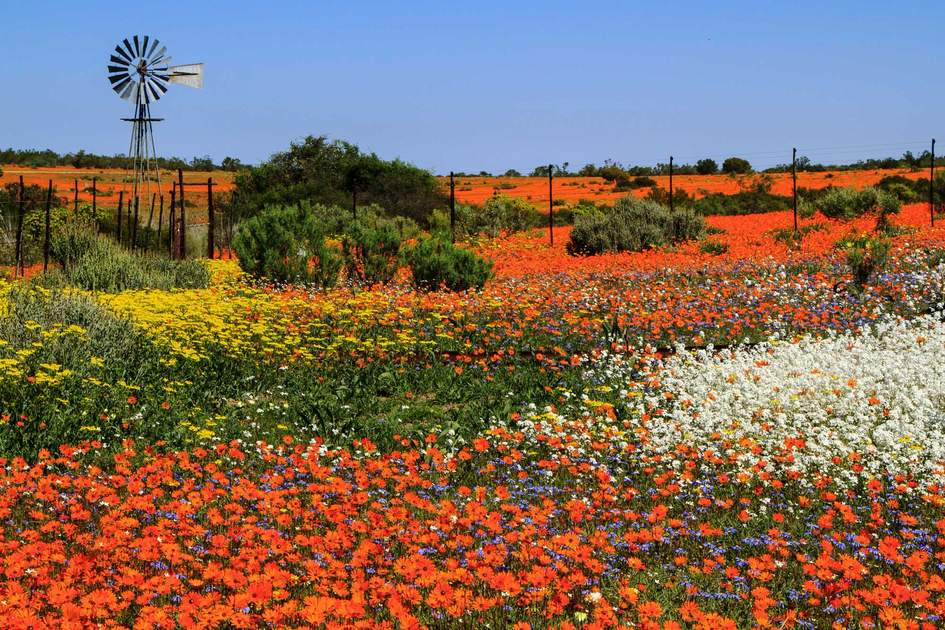 Multicolored spring flowers landscape with metal windmill in Namaqualand. Photo: Shutterstock