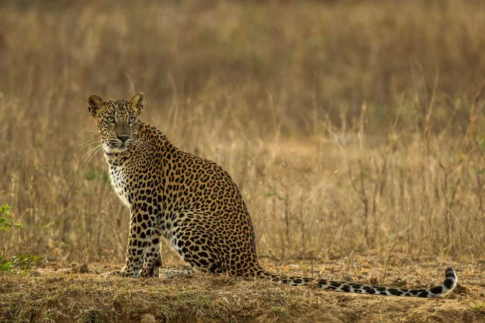 Leopard at Yala national park. Photo: Shutterstock