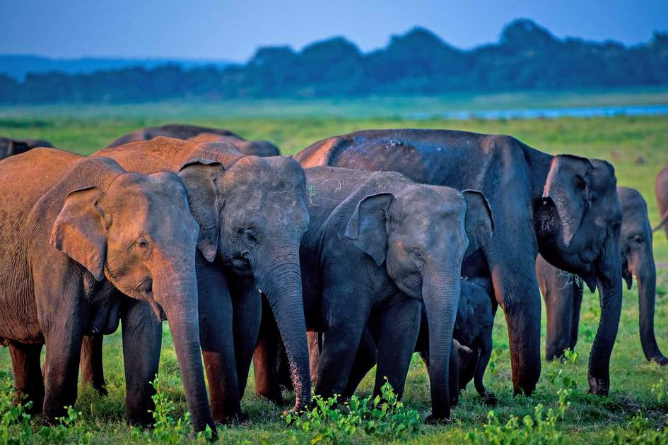 Minneriya's elephants. Photo: Shutterstock