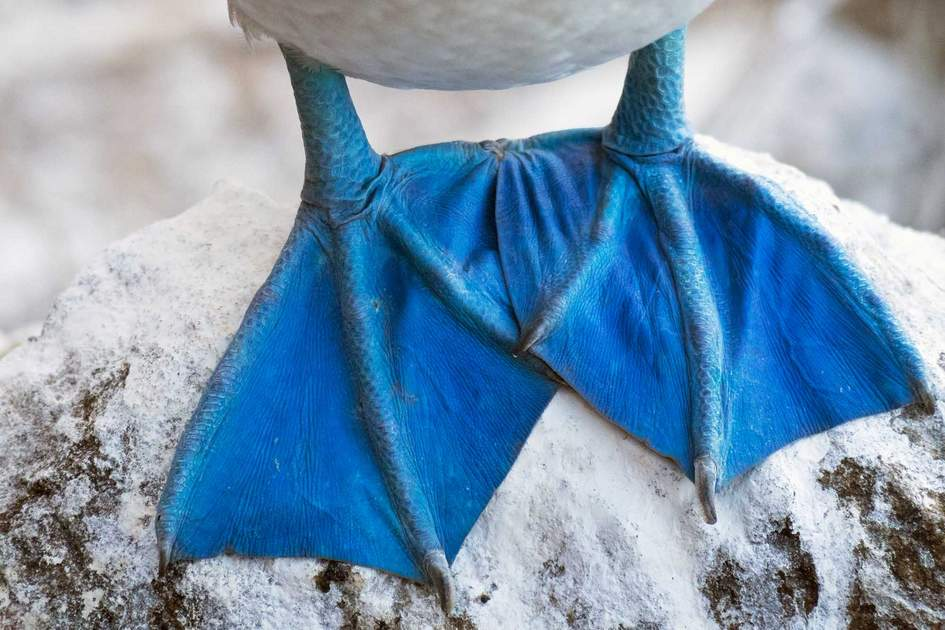 Blue footed booby feet. Photo: Shutterstock (illustration)