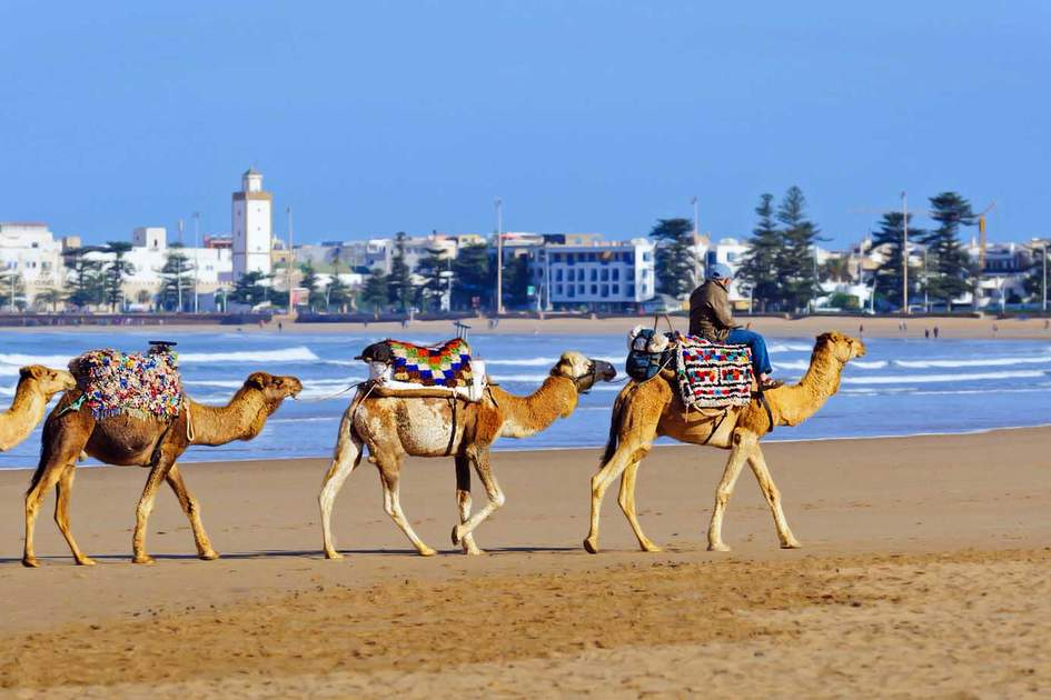 Camels at Essaouria, one of the best beaches in Morocco. Photo: Shutterstock
