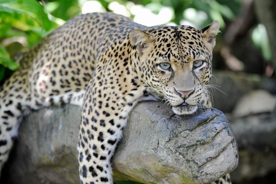 Leopard in the wild, Sri Lanka. Photo: Shutterstock