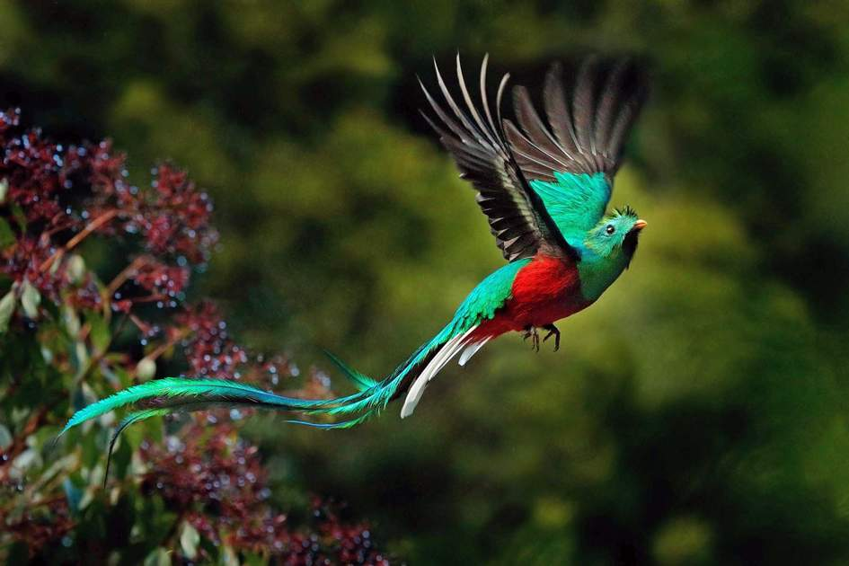 Flying Resplendent Quetzal, Pharomachrus mocinno, Savegre in Costa Rica. Photo: Shutterstock