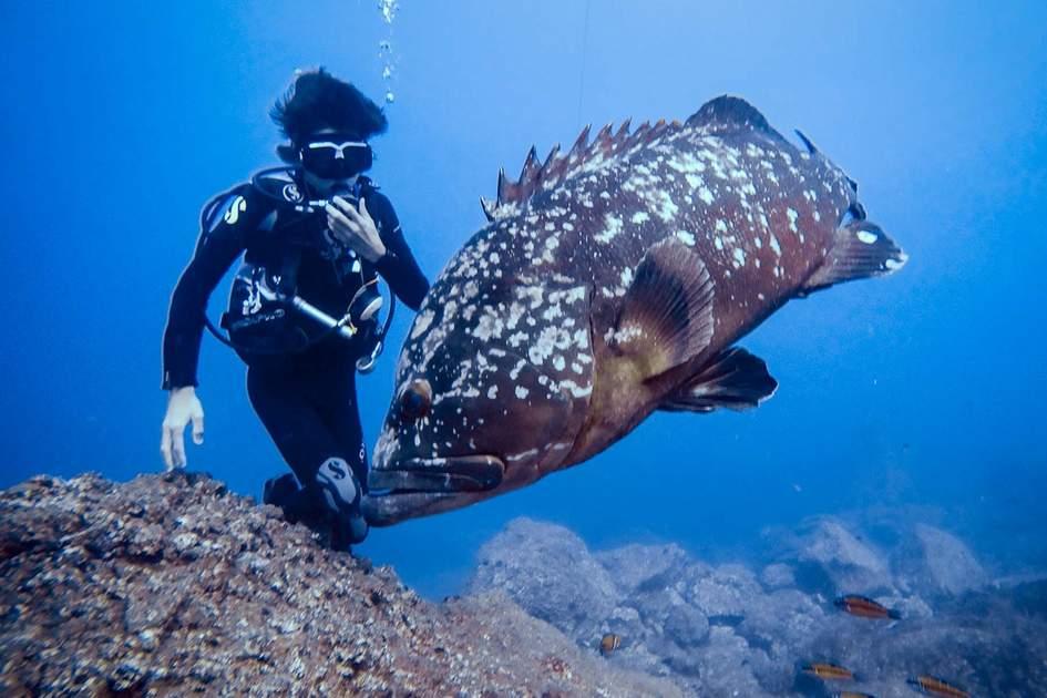 Dusky grouper with a diver. Photo: JTeixeira/Shutterstock