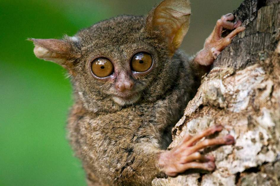 Tarsier seen on Sulawesi Island, Indonesia. Photo: GUDKOV ANDREY/Shutterstock