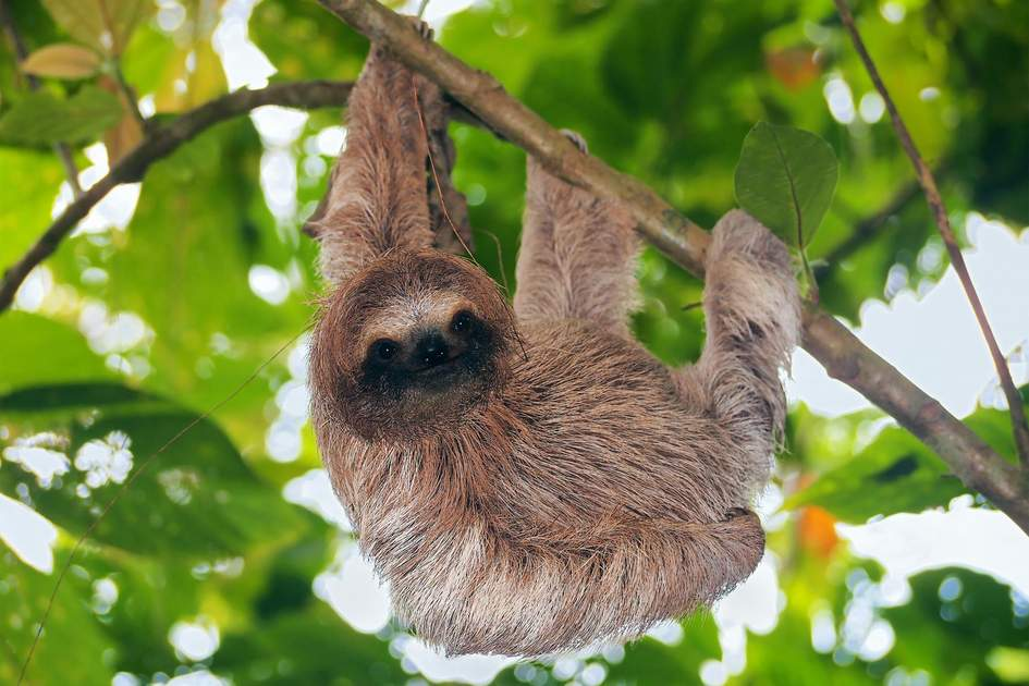 Brown throated sloth in the jungle, Bocas del Toro, Panama. Photo: Damsea/Shutterstock