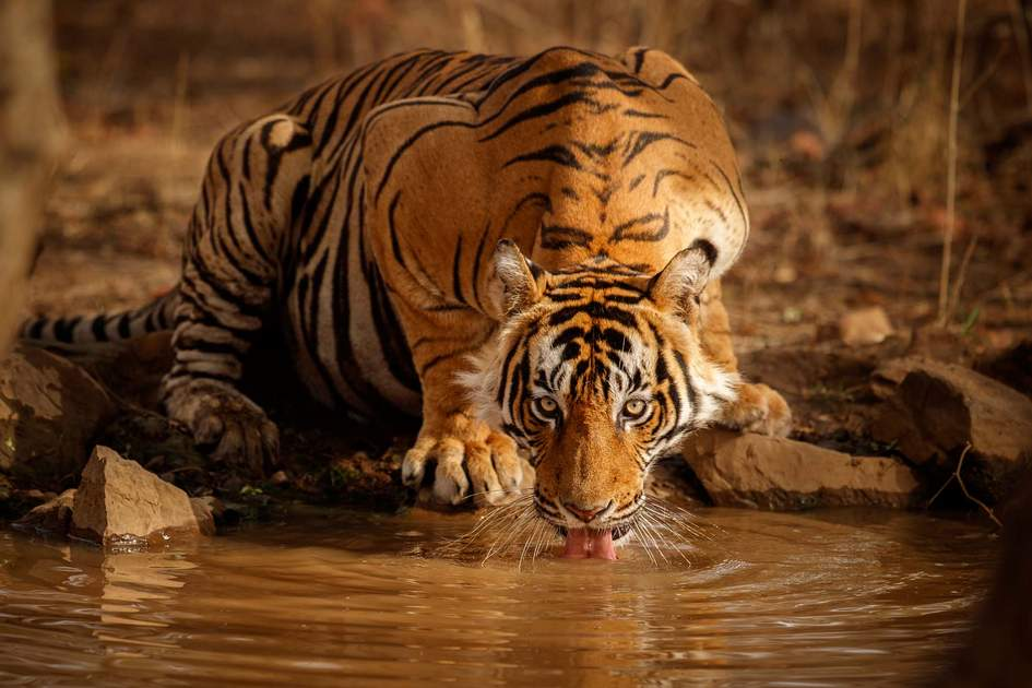 Male tiger in Rajasthan, India. Photo: PhotocechCZ/Shutterstock