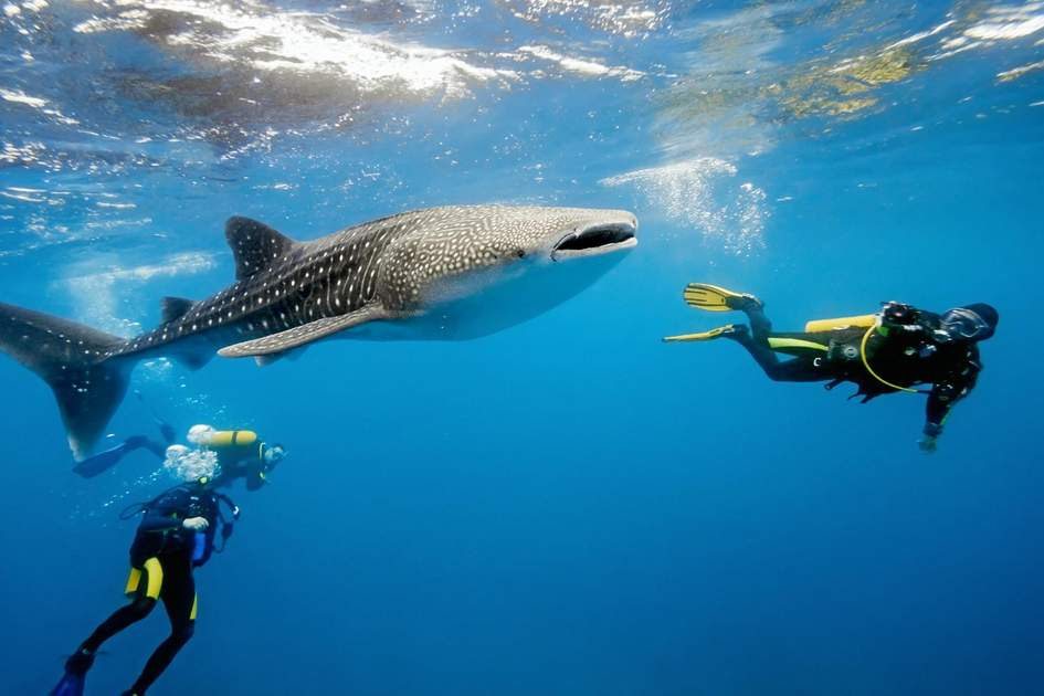 Whale shark and divers in the Maldives. Photo: Krzysztof Odziomek/Shutterstock