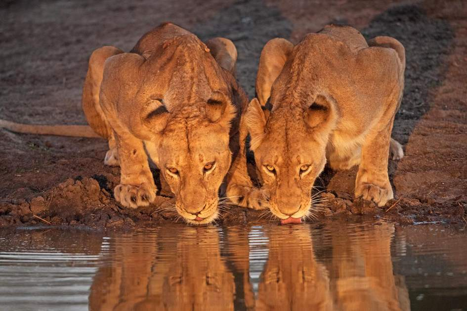 Lionesses at a waterhole in Kruger National Park, South Africa. Photo: Villiers Steyn/Shutterstock