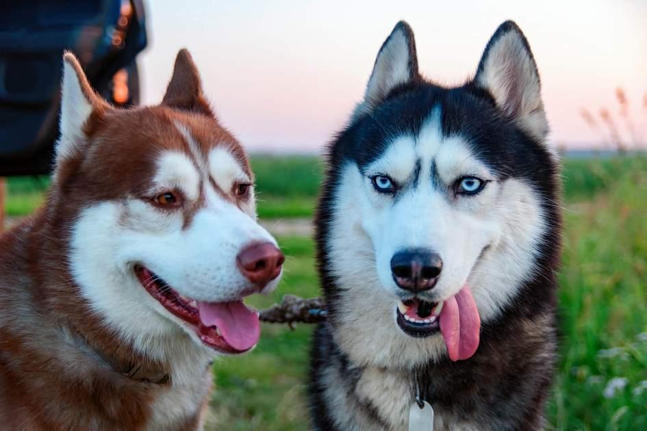 Lapland huskies. Photo: Konstantin Zaykov/Shutterstock