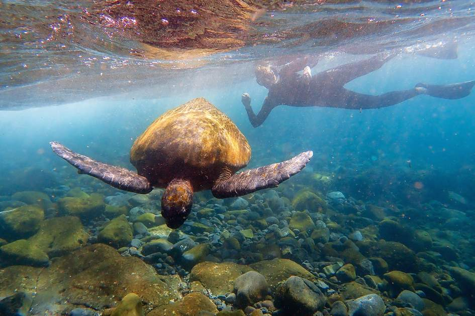 Pacific green sea turtle off Isabela Island in the Galápagos. Photo: Stacy Funderburke/Shutterstock