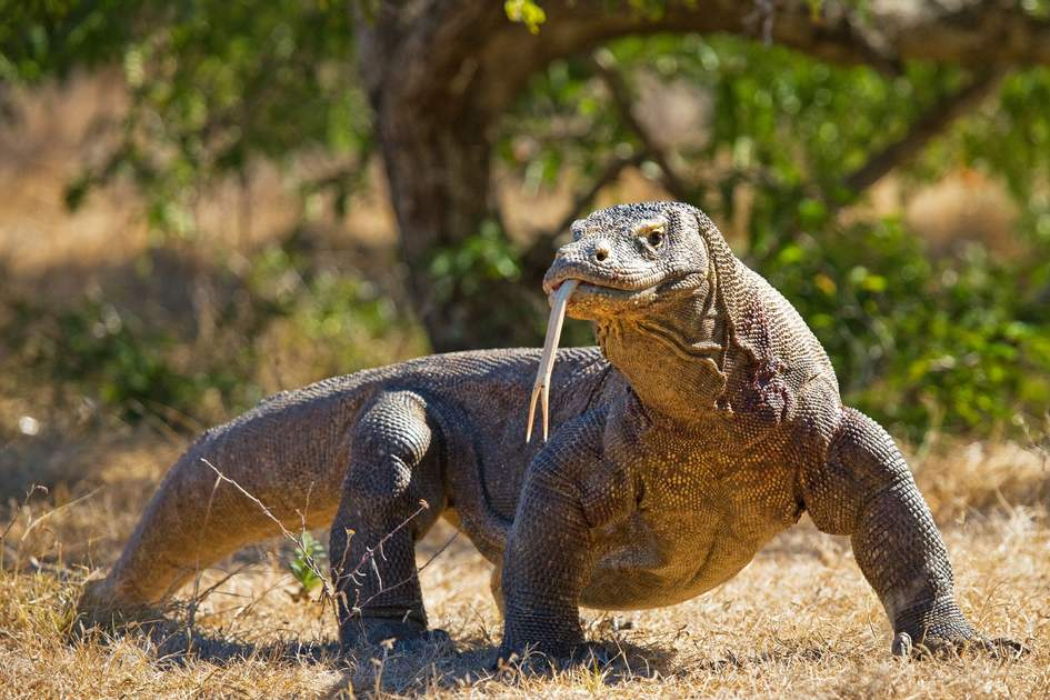 A Komodo dragon, Komodo National Park, Indonesia. Photo: GUDKOV ANDREY/Shutterstock