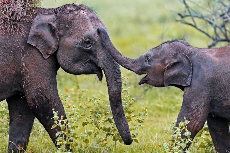 Elephants in Yala National Park, Sri Lanka. Photo: kyslynskahal/Shutterstock