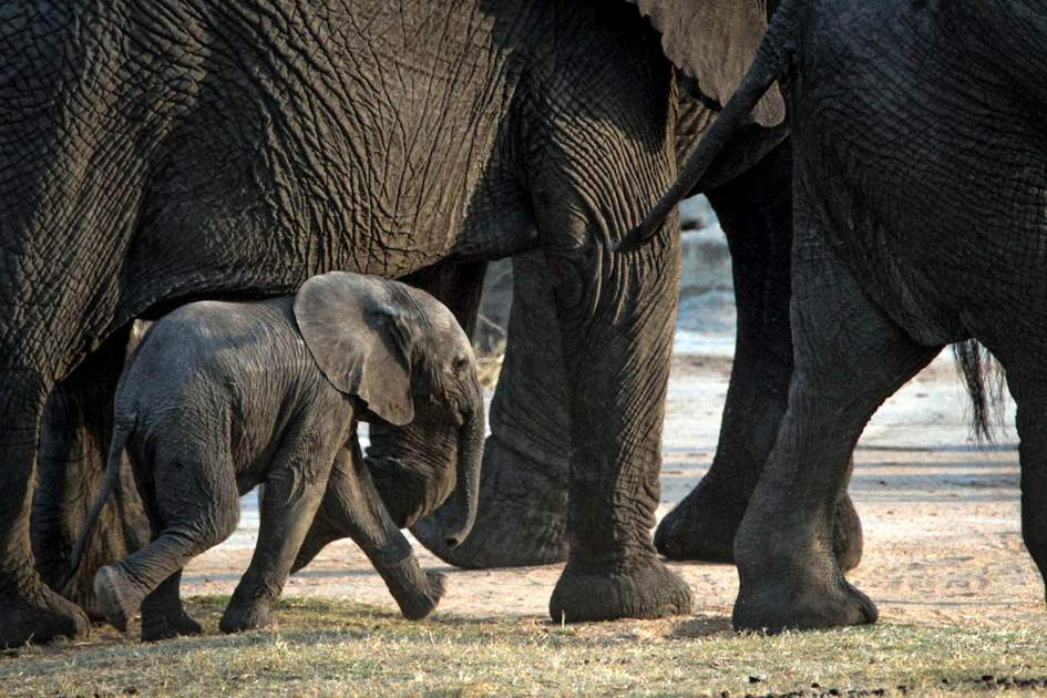 Baby elephant with herd at Sabi Sands Reserve, South Africa. Photo: Paul Cameron Allen/Shutterstock