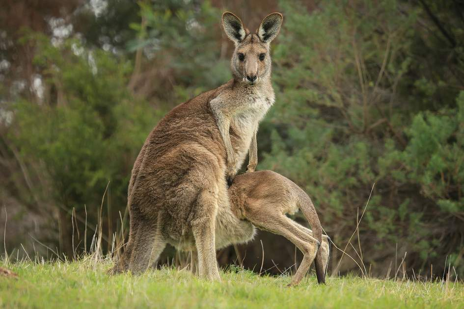 Female Eastern Grey kangaroo (Macropus giganteus) with joey climbing into her pouch. Photo: K.A.Willis/Shutterstock