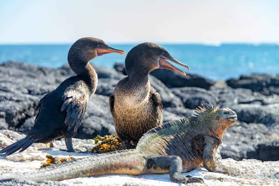 Two flightless cormorants and a marine iguana on Fernandina Island in the Galapagos Islands in Ecuador. Photo: Jess Kraft/Shutterstock