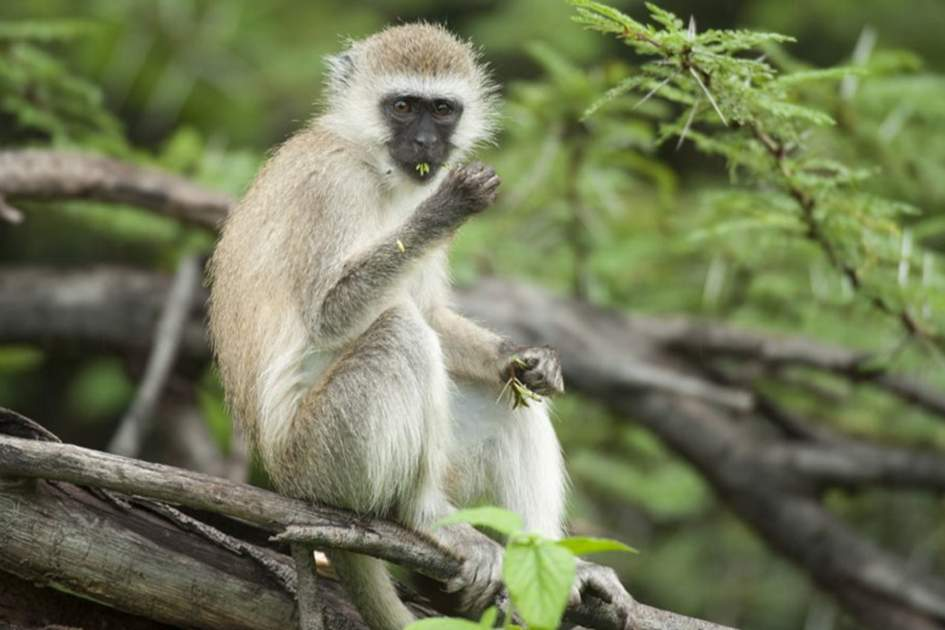 Vervet monkey, Lake Manyara National Park, Tanzania, (photo by Ariadne Van Zandbergen)