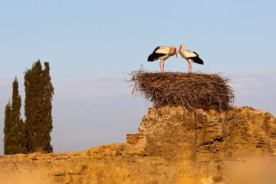 White Storks in Marrakech, (photo by Ming Tang Evans)