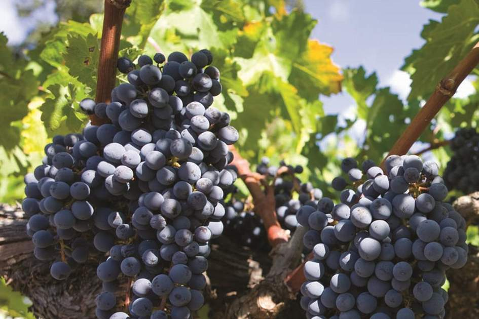 California grapes on the vine in wine country, (photo by David Dunai)