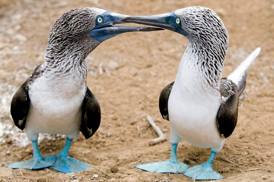 Blue-Footed Boobies, (photo by Corrie Wingate)